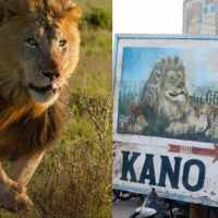 Kano zoo recaptures fleeing lion